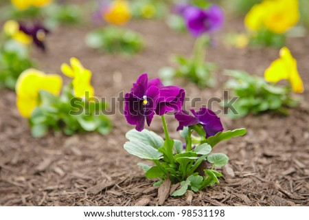 Purple and Yellow Pansies - stock photo