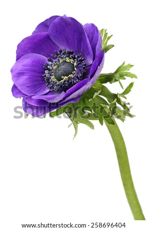 Purple anemone flower isolated on a white background - stock photo