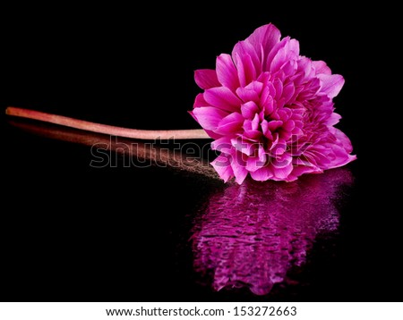 Purple anemone flower on a black background with water drop