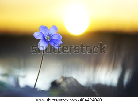 purple anemone nemorosa flower by lake at sunset - stock photo
