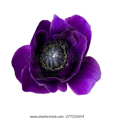 purple anemone, single flower, isolated white background - stock photo