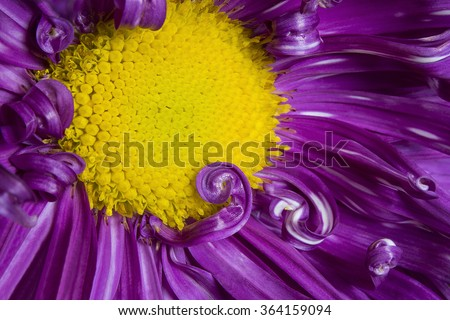 purple aster flower close up with purple petals and yellow heart image can be used as a background - stock photo