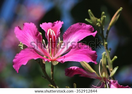 Purple Bauhinia flower