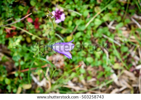Purple Bell Flower ruellia brittoniana flowers is blossoming in nature on a green meadow.