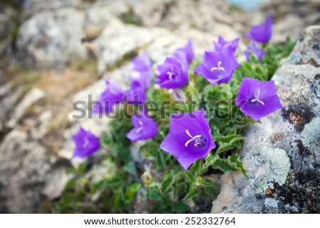 Purple bell flowers on rock - stock photo
