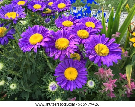 Purple big flowers colorful summer garden stock photo royalty free purple big flowers in colorful summer garden mightylinksfo