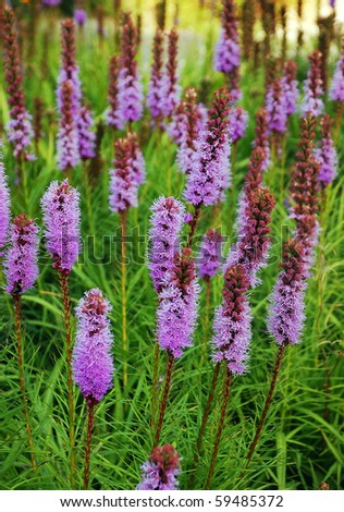 Purple blazing star flowers - stock photo