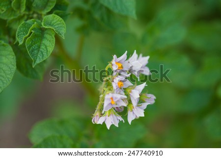 Purple blooming potato plants - stock photo