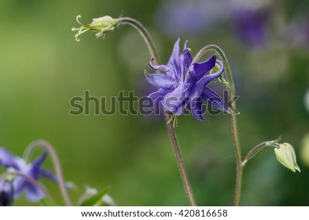 Purple blue columbine flower