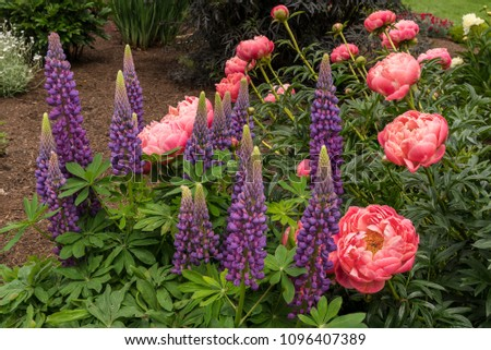 Purple, Blue Lupine and Pink Peonies in Bloom
