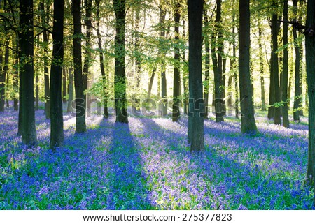 Purple bluebell woods in early morning sunrise