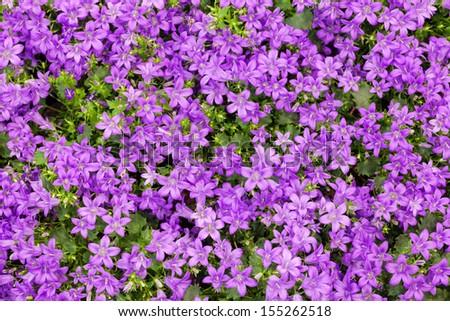Purple bluebells as background - stock photo