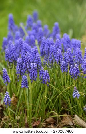 Purple Bluebells in Bloom in Spring - stock photo