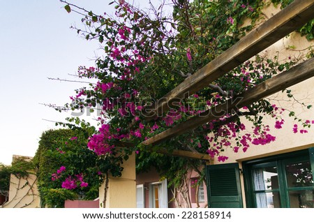 purple bougainvillea creeper flowering over pergola on a   villa in the Greek village - stock photo