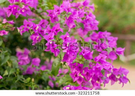 purple bougainvillea on evening - stock photo