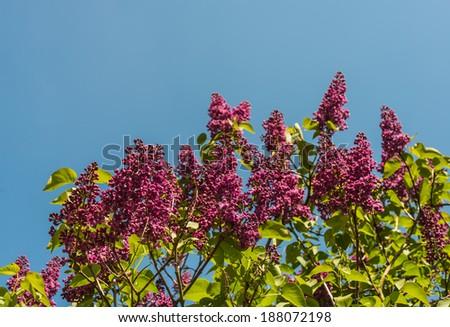 Purple budding Common Lilac or Syringa vulgaris tree against the blue sky in the spring season. - stock photo