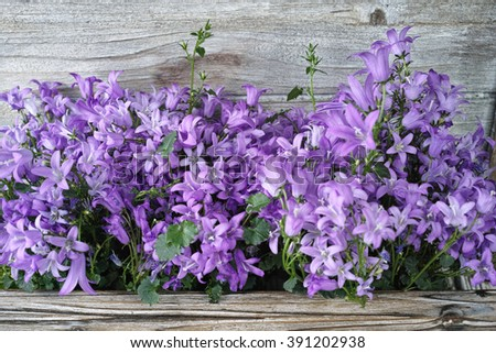 Purple campanula  bluebell flowers on wooden background, poscard concept