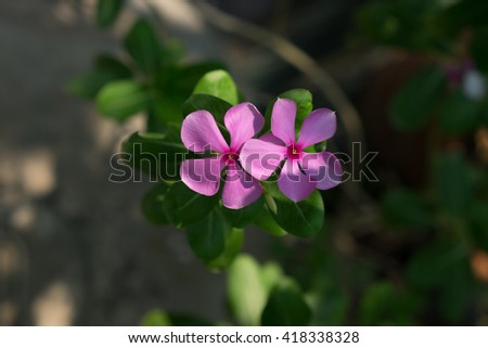 Purple Catharanthus roseus in the garden, close up - stock photo