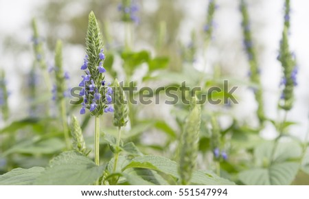 Purple chia flowers growing in garden