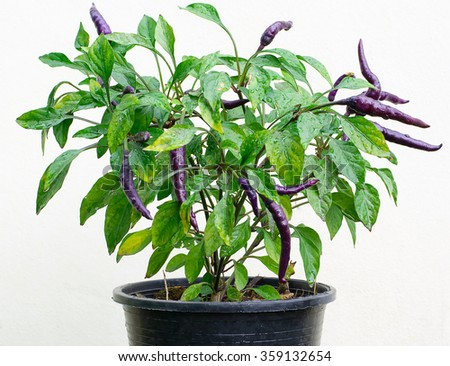 Purple chili pepper plant in pot isolated on white background - stock photo