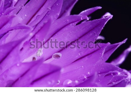 Purple Chive flower isolated over black background - stock photo