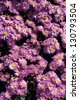 Purple chrysanthemum flower bed as background. - stock photo