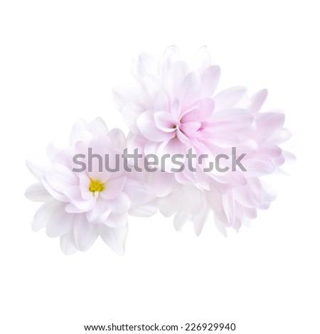 Purple chrysanthemum flower isolated on white background - stock photo