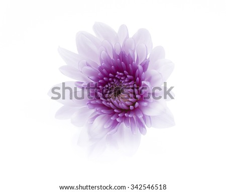 purple chrysanthemum flowers isolated on white background