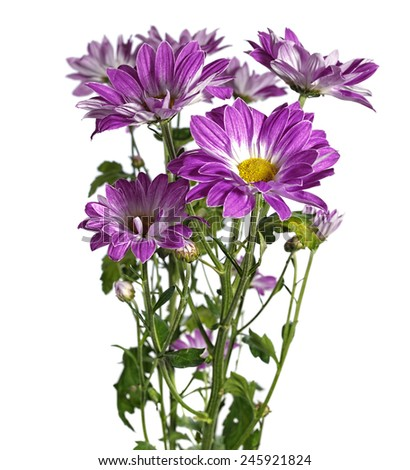 purple chrysanthemum on white background - stock photo