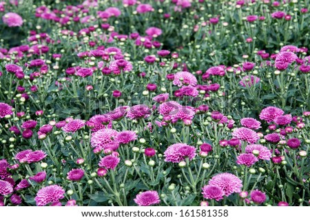 Purple chrysanthemums blooming in the fall. - stock photo