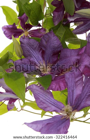 Purple clematis flowers - stock photo