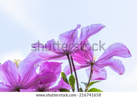 Purple clematis flowers and the blue sky