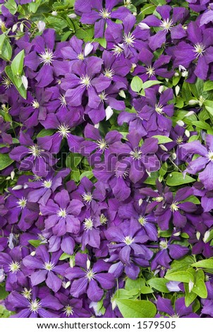 Purple clematis hangs down from it's perch. - stock photo