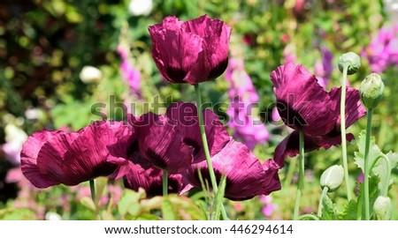 Purple colored Poppies - stock photo