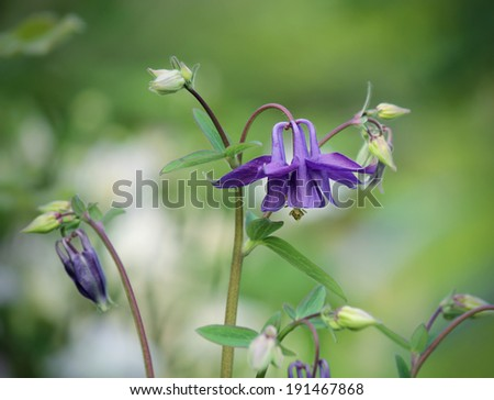Purple columbine close up - stock photo