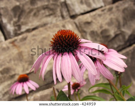 Purple cone flower/echinacea growing against a stone wall - stock photo