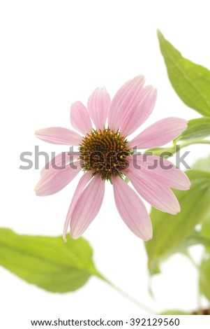 Purple cone flower with leaves - stock photo