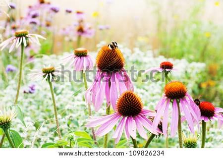 purple cone flowers (Echinacea purpurea) - stock photo