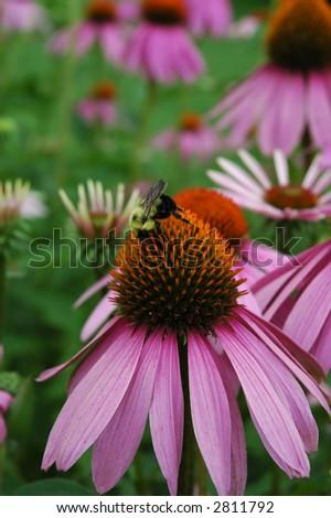 Purple Coneflower and Bee - stock photo
