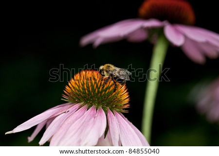 Purple coneflower in a garden with bee - stock photo