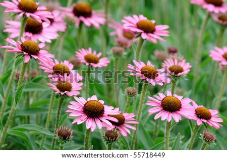 Purple coneflowers - stock photo