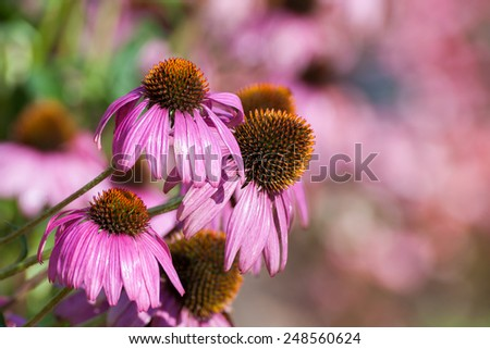 Purple Coneflowers (Echinacea) , close-up, selective focus  - stock photo