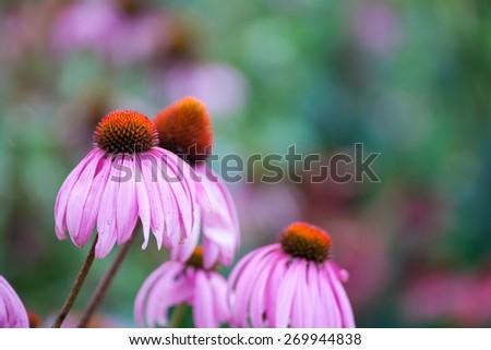 Purple Coneflowers (Echinacea) , close-up, selective focus  - stock photo