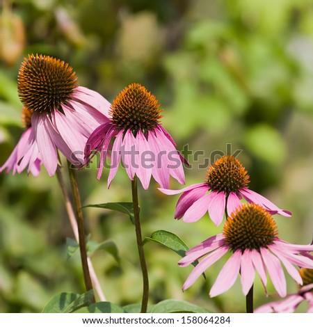 Purple coneflowers in a garden close-up shot - stock photo