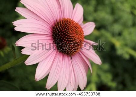 Purple corflower on the green background - stock photo