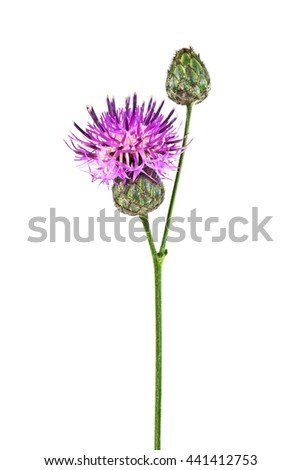 Purple Cornflower - Centaurea on a white background