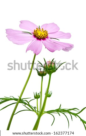 purple cosmos flowers  isolated on white background