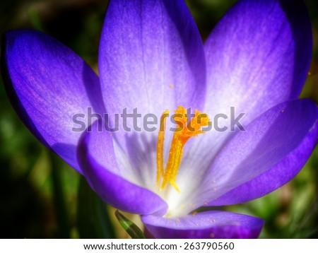 purple crocus flower close up - stock photo
