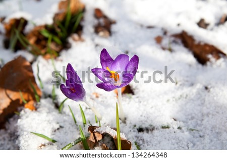 purple crocus flowering in snow during early spring - stock photo