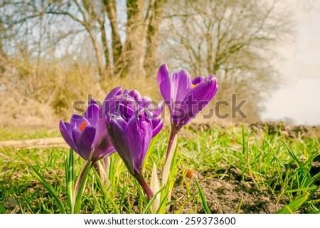 Purple crocus flowers at springtime - stock photo